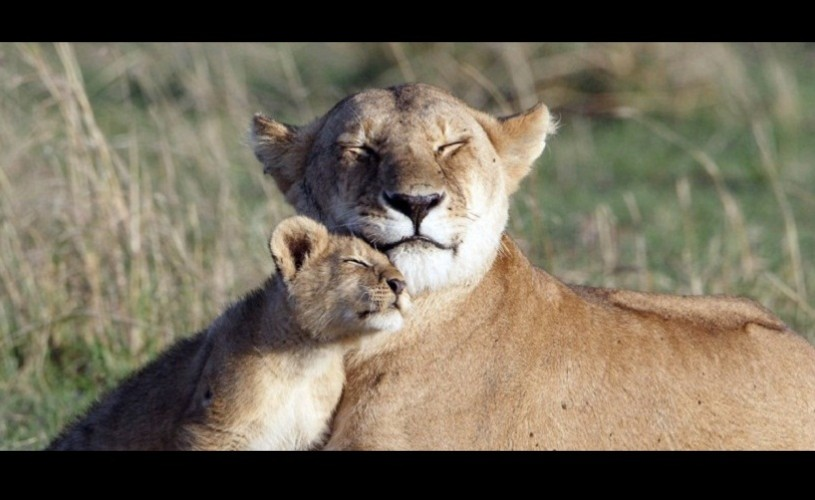Leii popularului documentar BBC, Big Cat Diary, au fost otrăviţi