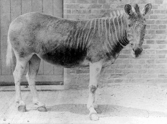 131 de ani de când ultimul Quagga a murit într-o grădină zoologică din Amsterdam. Un singur exemplar a fost fotografiat.
