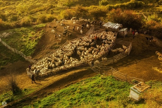 """""""Alesul oilor"""",  de Auraș Mihaiu"""